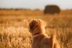 鸣钟人在一个领域的小狗在日落 免版税图库摄影