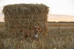 鸣钟人在一个领域的小狗在日落 免版税库存图片