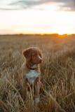 鸣钟人在一个领域的小狗在日落 图库摄影