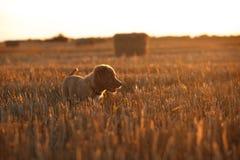鸣钟人在一个领域的小狗在日落 免版税库存照片