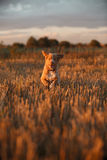 鸣钟人在一个领域的小狗在日落 库存照片