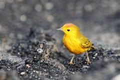 鸣鸟黄色 免版税库存图片
