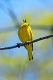 鸣鸟黄色 库存图片