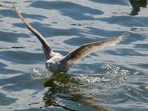 鸥一次印象深刻的飞行  免版税库存照片