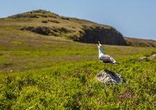 鸥叫对他的在Skomer海岛,威尔士上的群 免版税图库摄影