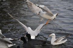 鸥和鸭子 库存图片