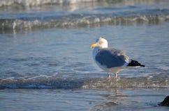鸥在冬天 免版税图库摄影