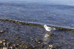 鸥在海站立 免版税图库摄影