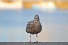 鸥在港口 免版税图库摄影