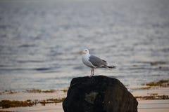 鸥属argentatus,海鸥 库存图片
