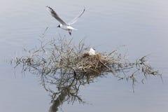 鸥属melanocephalus在白鹅de索姆省 库存图片