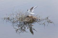 鸥属melanocephalus在白鹅de索姆省 免版税库存图片
