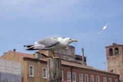 鸥属michahellis,在投石器落空的黄色有腿的鸥在意大利镇基奥贾,开始飞行 免版税库存图片