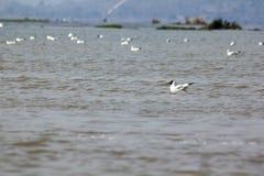 鸥是与媒介的鸟对大 免版税库存图片