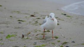 鸥是其中一只最普遍的海边鸟 她居住和前 免版税库存照片