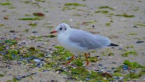 鸥是其中一只最普遍的海边鸟 她居住和前 图库摄影