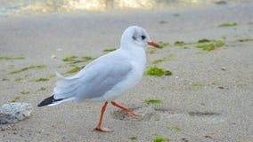 鸥是其中一只最普遍的海边鸟 她居住和前 库存照片