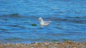 鸥是其中一只最普遍的海边鸟 库存图片