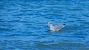 鸥是其中一只最普遍的海边鸟 免版税库存照片