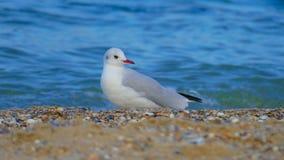 鸥是其中一只最普遍的海边鸟 图库摄影