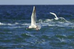 鸥的竖趾旋转 免版税图库摄影