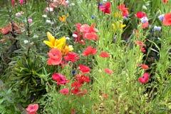 鸦片、矢车菊和百合在庭院里 免版税库存图片