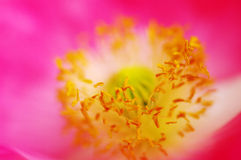 鸦片一朵桃红色花的核心  图库摄影