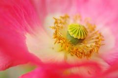 鸦片一朵桃红色花的核心  库存照片