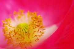 鸦片一朵桃红色花的核心  免版税库存图片