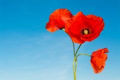 鸦片三朵红色花在蓝天背景的 罂粟属rhoeas 免版税库存图片