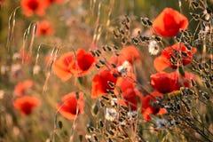 鸦片和其他野花特写镜头在日落,春天在普罗旺斯 库存照片