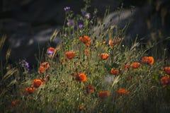 鸦片和其他野花 库存图片
