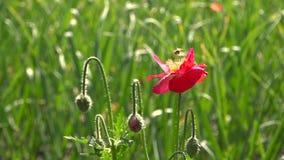 鸦片和昆虫 反对绿草的开花的红色鸦片 股票录像