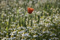 鸦片和春黄菊 库存图片