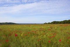鸦片和油菜籽在夏天风景播种 库存图片