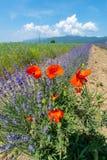 鸦片和淡紫色在罗斯谷保加利亚 库存照片