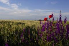 鸦片和紫罗兰在领域和美丽的天空 免版税图库摄影