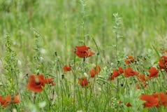 鸦片和野花在草甸 免版税库存图片