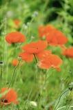 鸦片和野花在草甸 库存照片
