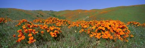 鸦片和野花,羚羊谷,加利福尼亚 免版税库存图片