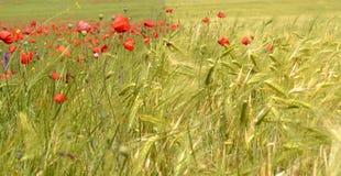 鸦片和麦子的领域 免版税库存照片
