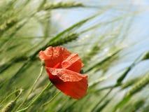 鸦片和麦子 免版税库存图片