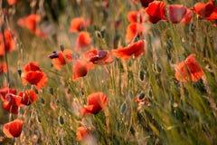 鸦片在一个草甸,日落的,在普罗旺斯,法国反弹 免版税库存图片