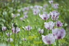 鸦片在夏天草甸的绿色背景中开花 库存图片