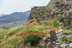 鸦片在希腊废墟中增长 免版税库存图片