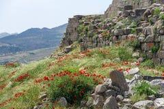 鸦片在希腊废墟中增长 库存照片