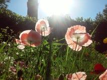 鸦片在没有草的荷兰庭院里 免版税库存照片