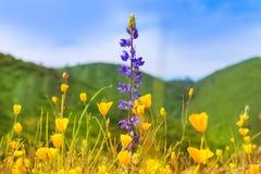 鸦片在西加利福尼亚开花黄色鸦片 库存图片