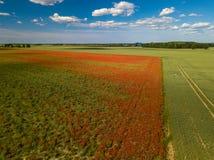 鸦片域 在视图之上 很多红色花 n 库存照片