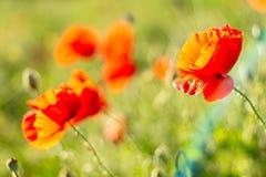 鸦片开花在日落反对绿草背景  免版税库存图片